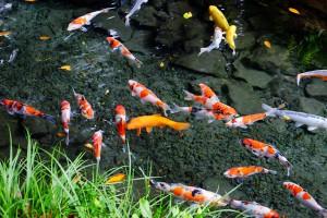 湧水池の隣で鯉が泳ぐ[明神池名水公園]