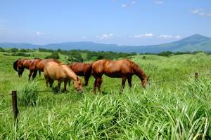 外輪山原野に放牧された馬[ミルクロード]