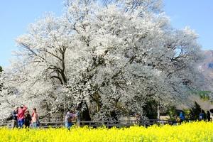 一心行の大桜[南阿蘇村]