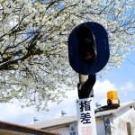 鉄道信号機と桜[中松駅・南阿蘇鉄道]