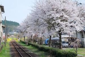 長陽駅の桜[南阿蘇村]