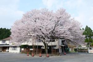 長陽旅館の桜[南阿蘇村]