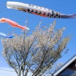 桜と鯉のぼり[見晴台・南阿蘇鉄道]