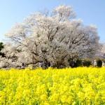 満開宣言・一心行の大桜[南阿蘇村]
