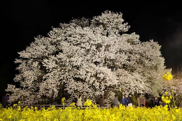 撮影:2017年4月13日《夜桜》[一心行の大桜・南阿蘇村]