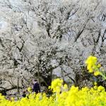 撮影:2017年4月13日[一心行の大桜・南阿蘇村]