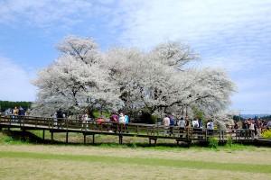 樹齢400年の大桜[一心行の大桜・南阿蘇村]