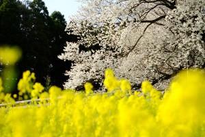 鎮魂で植えられた桜[一心行の大桜・南阿蘇村]