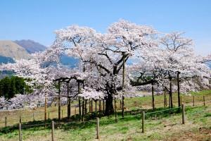 満開見後の桜[観音桜・南阿蘇村]
