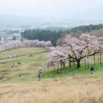 撮影:2017年4月9日[観音桜・南阿蘇村]