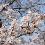 撮影:2018年3月29日[観音桜・南阿蘇村]