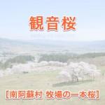 観音桜[南阿蘇村 桜の名所]