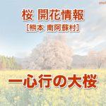 一心行の大桜[南阿蘇 桜名所 花見]