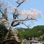 池の鶴の大桜[阿蘇市 小国町:桜 名所]