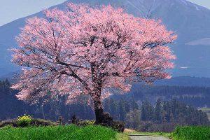 前原の一本桜[阿蘇市 小国町:桜 名所]