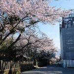 境内の桜 満開見頃[2020 阿蘇神社 現在状況]