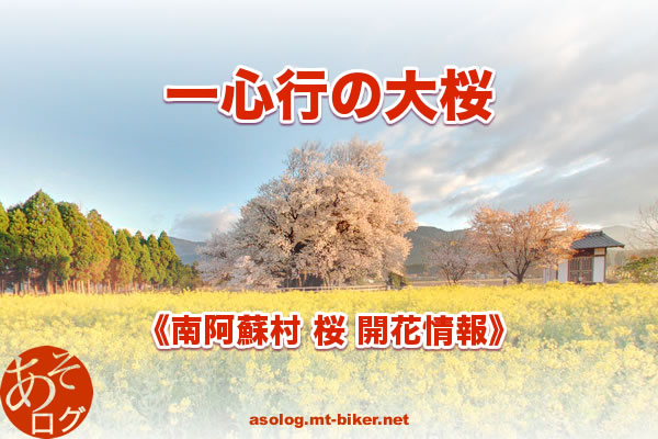開花状況 桜名所 スポット[一心行の大桜:南阿蘇]