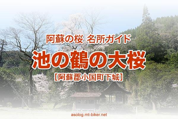 池の鶴の大桜 見頃[阿蘇 小国町 桜の名所]