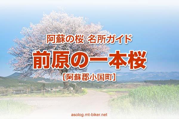 前原の一本桜 見頃[阿蘇 小国町 桜の名所]